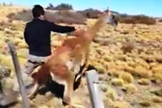 Salvaron a un guanaco atrapado en un alambrado