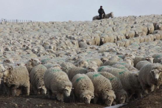 Aseguran que podrían morir 30.000 ovejas en la Patagonia por la acción arbitraria del SENASA