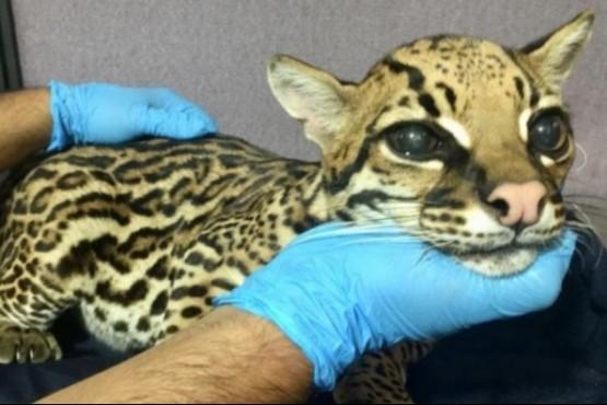 Le amputaron los colmillos a un leopardo para domesticarlo
