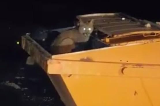 Petroleros filmaron a pumas comiendo basura en un contenedor