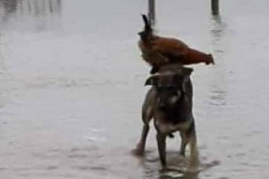 Solidaridad animal: el perro que salvó a una gallina de morir ahogada
