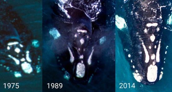 Se obtuvo un nuevo registro de una ballena franca austral identificada