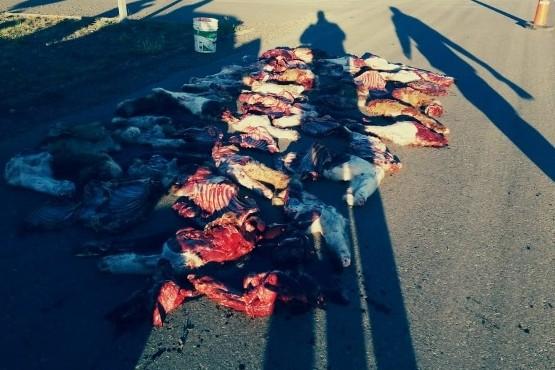 Secuestran guanacos faenados durante un control preventivo