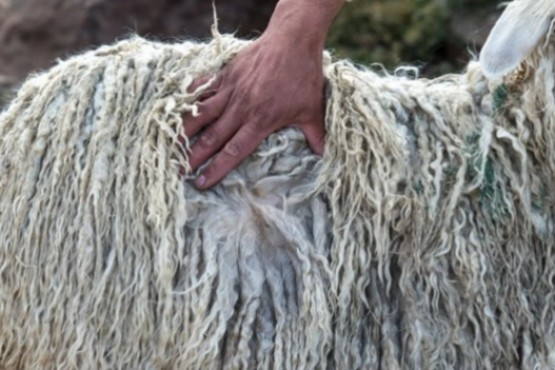 Neuquén, Chubut y Río Negro buscan vender en conjunto lana mohair
