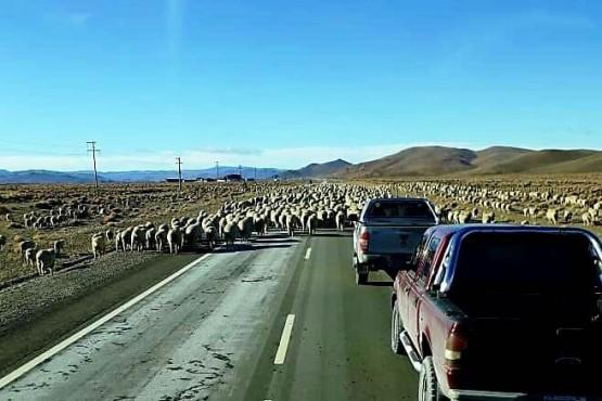 """Un """"piquete"""" de ovejas en la ruta"""