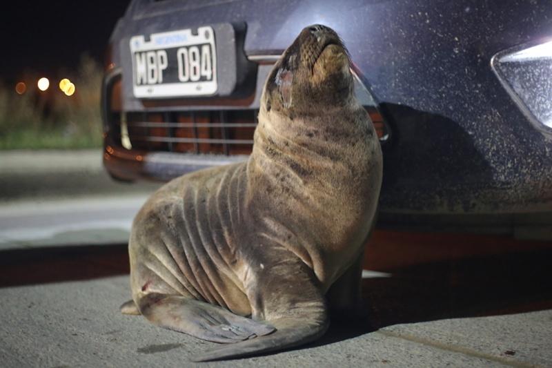 El lobo marino apareció en la costanera. (C.G)