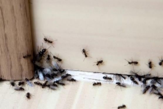Insólito: invasión de hormigas en la Legislatura