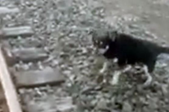 Maquinista frenó el tren y salvó la vida de un perro atado a las vías