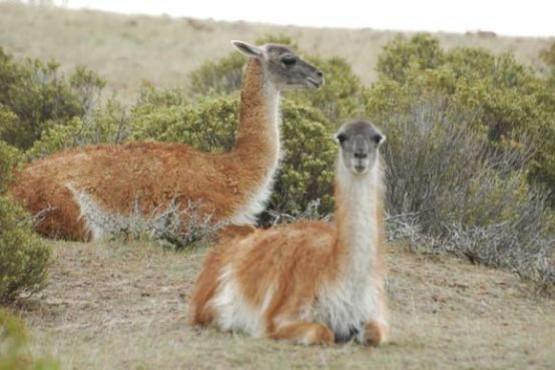 Oficializaron el plan de manejo sustentable y el aprovechamiento del guanaco