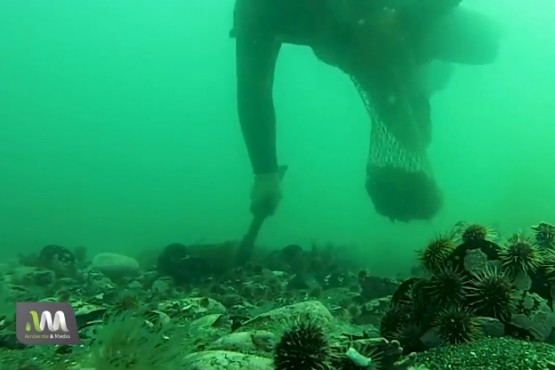 Una ostra exótica japonesa amenaza la biodiversidad submarina en Madryn