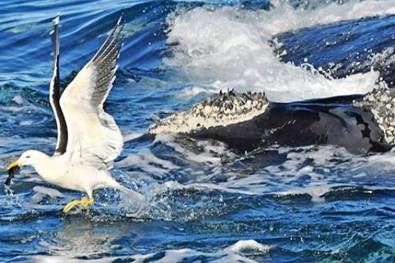 Ballenas en peligro: la gaviota cocinera ataca de nuevo