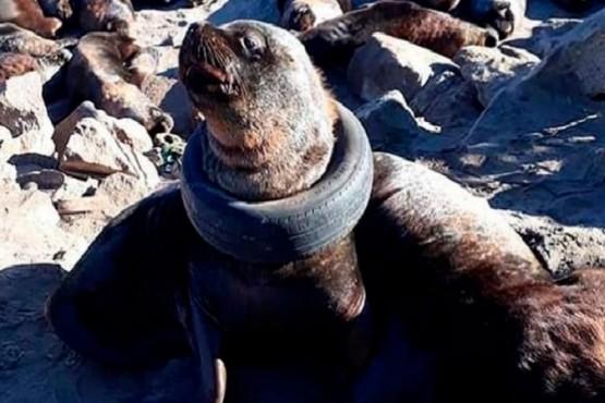 Indignación por un lobo marino con un neumático alrededor del cuello