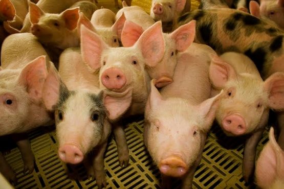 Senasa restringe presencia de cerdos en exposiciones