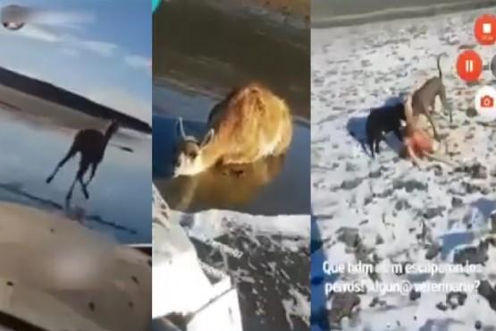 Se filmaron atropellando un guanaco y luego lo devoran dos perros