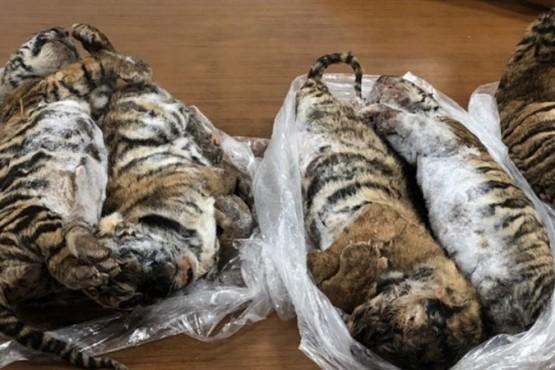 Detenido con siete tigres congelados en su coche