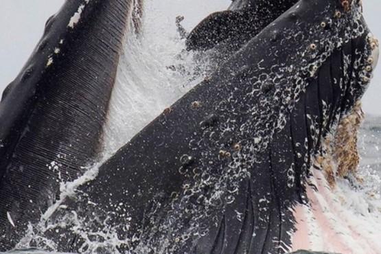El impactante momento en que una ballena estuvo a punto de tragarse a un lobo marino