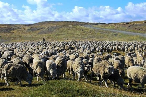 Sustraen 1200 animales ovinos valuados en $2.400.000 de una estancia