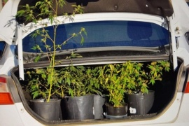 Decomisan 13 plantas de marihuana