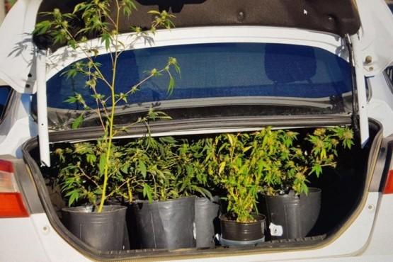 Las plantas de marihuana decomisadas.