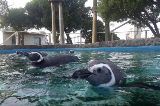 Curaron tres pingüinos y los devolvieron al mar