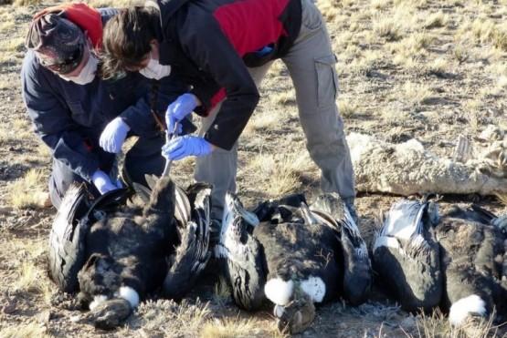 Los animales se encontraban junto a un ovino muerto y restos de un zorro.