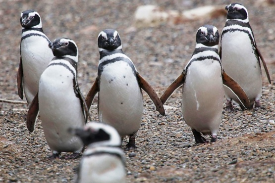 El Área Natural Protegida Punta Tombo está ubicada a 110 kilómetros de Trelew.