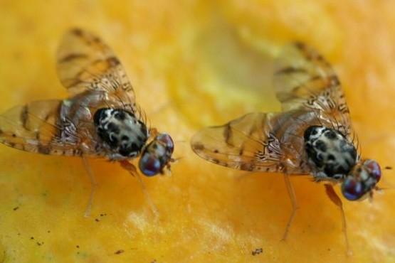 Las moscas viajan a Bolivia para combatir plagas.