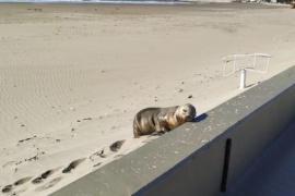 Apareció un lobo marino en la playa de Rada Tilly