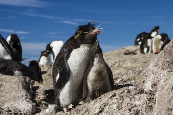 Pingüinos de penacho amarillo. (Secretaría de Turismo de Puerto Deseado/Fotógrafo Ricardo Pérez)