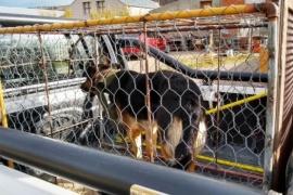 Capturan perros por morder y deberá resolver el Juzgado de Faltas