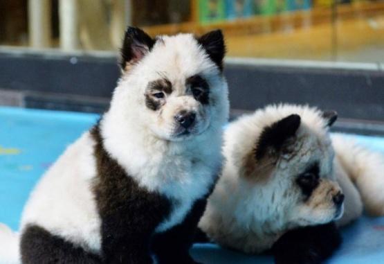 Una cafetería china tiñe perros para que parezcan osos panda