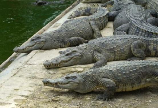 Un cocodrilo se devoró al perro de una mujer en Australia
