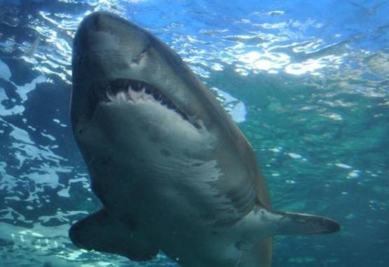Imagen ilustrativa de un tiburón blanco.