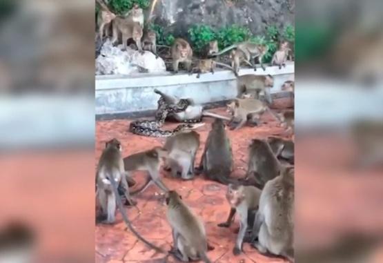 El momento exacto en el que una pitón asfixia a un mono