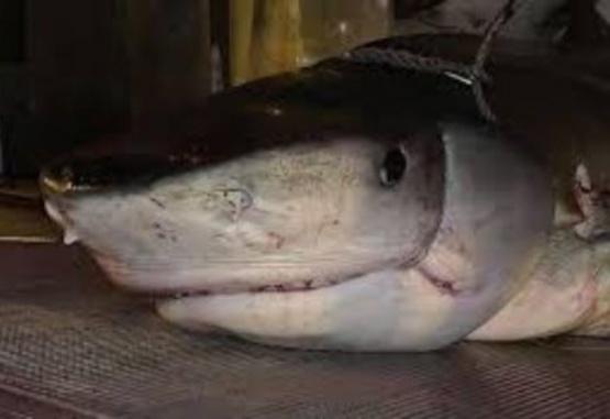 Hallan dentro de un tiburón la mano de un turista desaparecido