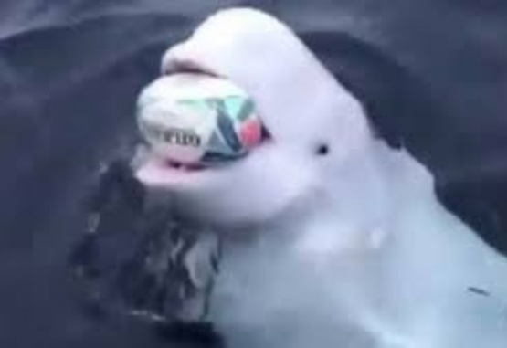 Una beluga que juega al rugby con un marinero se volvió viral