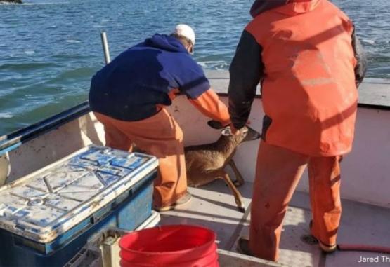 Emotivo rescate de un ciervo en medio del mar