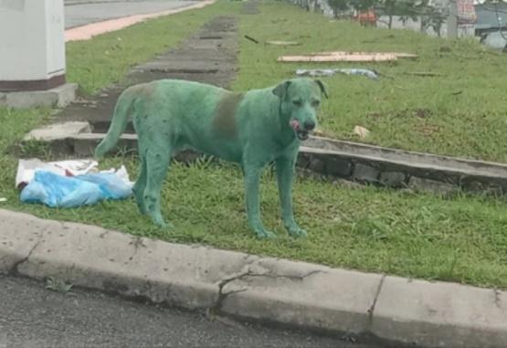 Las imágenes del perro pintado fueron publicadas en el Facebook del joven llamado Shazreen Othuman, quien captó la escena.