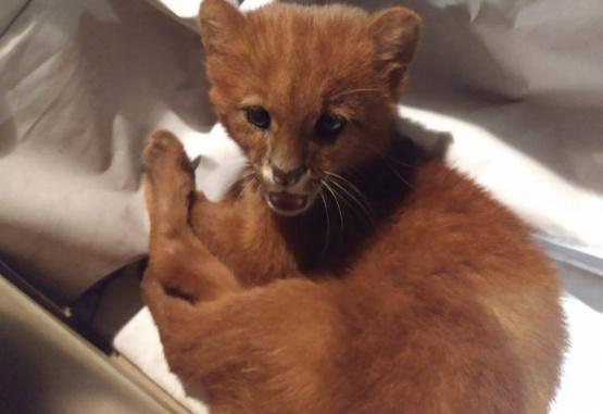 Este era el puma que la mujer confundió con un pequeño gato. Foto: Facebook FARA