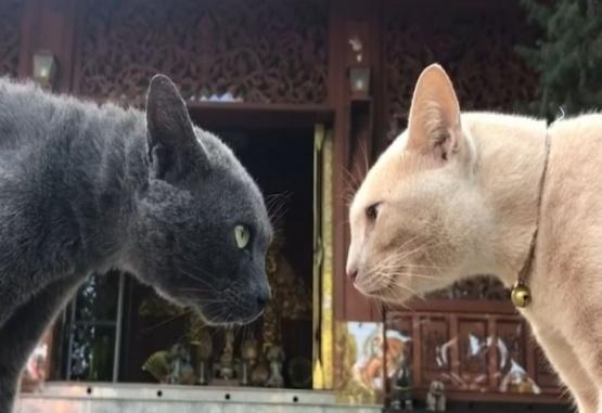 Dos gatos se miran desafiantes antes de pelear y el video se vuelve viral