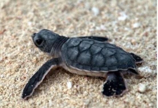 Imagen ilustrativa de una tortuga marina bebé.