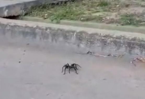 Un hombre filmó una enorme tarántula en plena calle