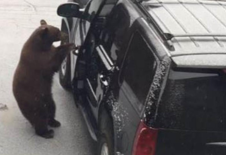 El momento en que el oso abre la puerta del auto. Foto: Captura de video