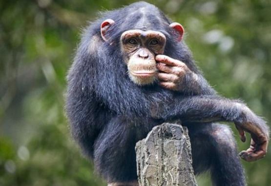 Imagen ilustrativa de un chimpancé.