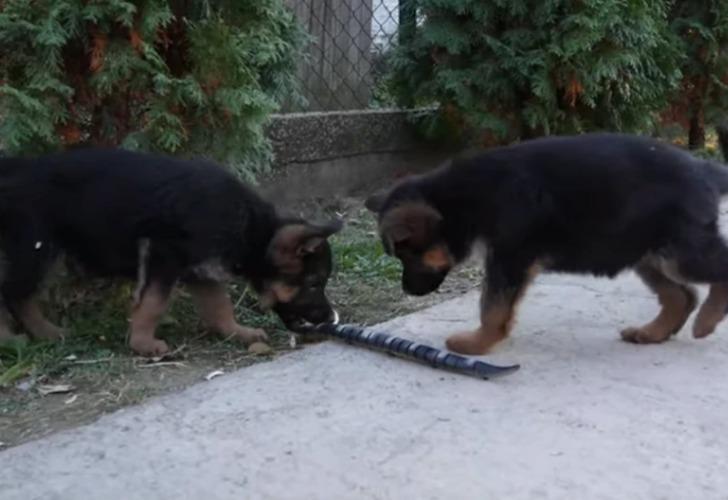Captura de video del momento en que los perros se topan con la serpiente robot.