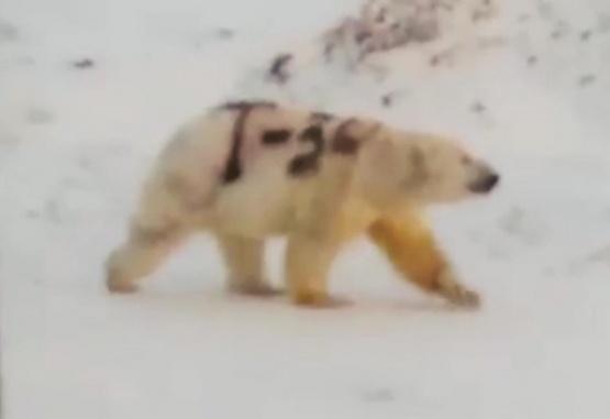 Captura de video. Así se ve el oso con el cuerpo pintado.