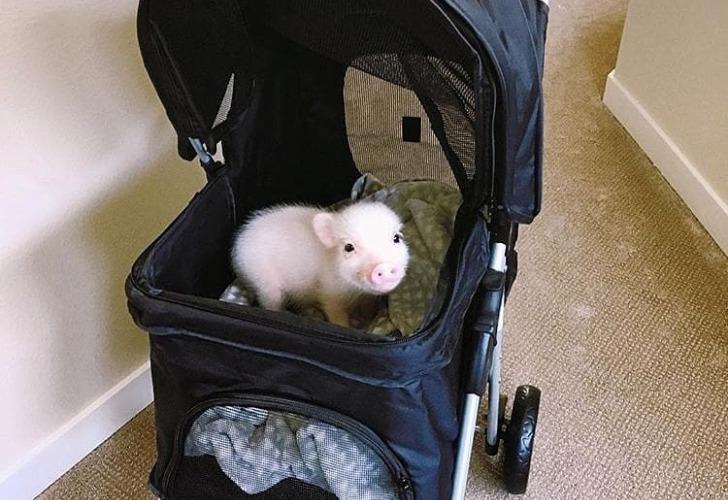 Los 'mini pigs' se convirtieron en furor. Foto: Instagram Mini Pig