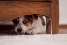 Para las fiestas harán una programación de TV antiestrés para perros