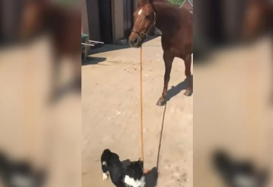 Captura de video del momento en que el perro saca a pasear a un caballo.