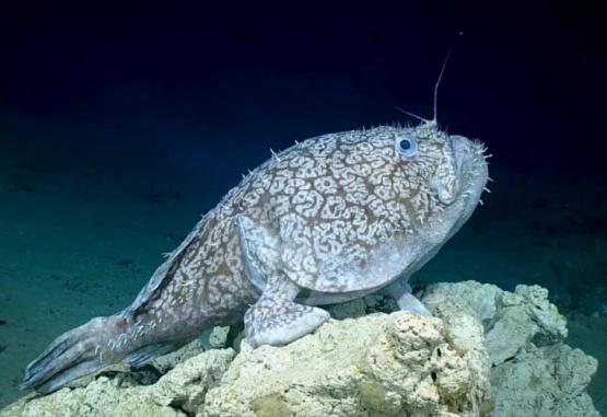 A este pez, los exploradores lo confundieron con una roca. Foto: Gentileza CNN